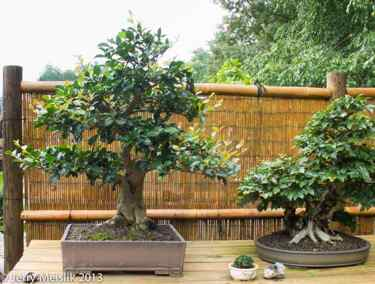 Ficus Technique: 80 - The National Bonsai and Penjing Museum