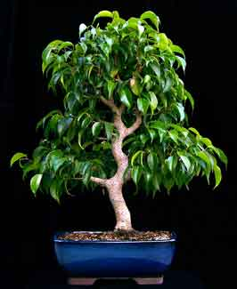 ficus tecnhiques 20 how to create a bonsai from raw stock. Black Bedroom Furniture Sets. Home Design Ideas