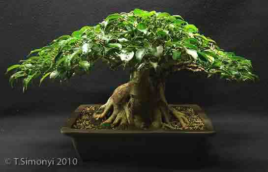Ficus benjamina reduction