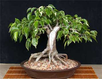 ficus forum friends bonsai page 8. Black Bedroom Furniture Sets. Home Design Ideas