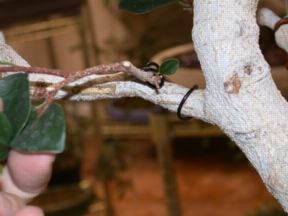 Cambium Layer Grafting http://www.bonsaihunk.us/GraftingFigs.html