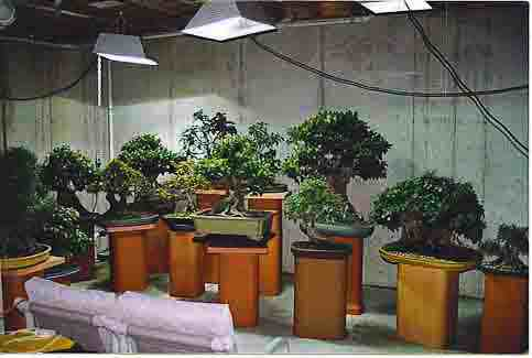 How I Grow Bonsai Indoors