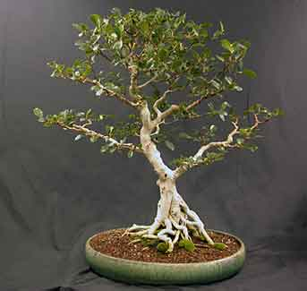 Ficus microcarpa from Hawaii