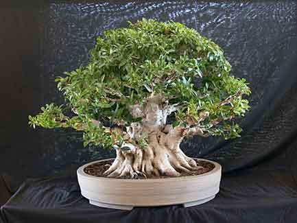 Ficus microcarpa from Taiwan