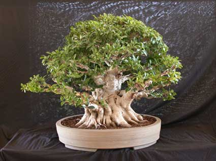 Metal Halide Flourescent And Led Lights And Bonsai