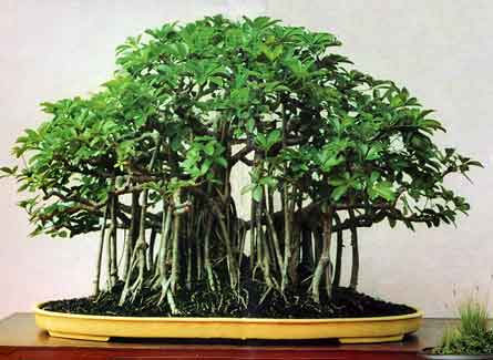 just bought my first bonsai arboricola schefflera bought bonsai tree