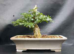 Carl rosner tree14 quot tall trained 4 years