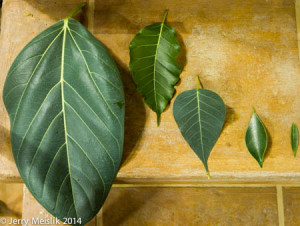 Fig leaves from the left are benghalensis, ingens, religiosa, microcarpa and salicaria