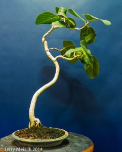 Ficus benghalensis with leaves that are too large