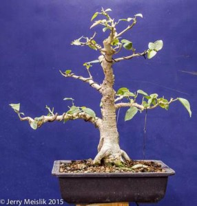"Ficus rumphii, about 12"" tall with most leaves removed"