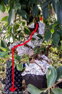 Red arrow shows the path of the roots from the apex fusions to the bonsai pot