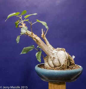 Ficus palmeri with a large water storing cause and pretty sparse branching