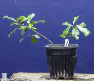 Two young rooted cuttings of Ficus craterostoma