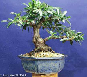 Ficus 'Exotica' from pre-bonsai stock