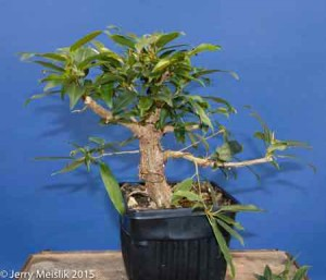 Ficus 'Mexicana' given to me in 2008