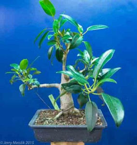 Ficus macrophylla plant in training as a bonsai