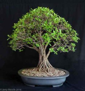 A fused Ficus natalensis that is a completed design and has a naturalistic design