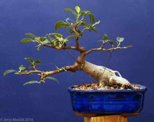 2016, partially defoliated to encourage more twigging