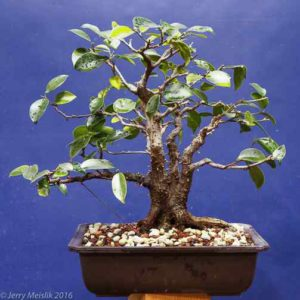 Ficus microcarpa from seed, age abou 12 years, height 8""