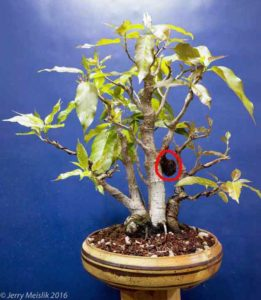 Ficus virens/infectoria showing the aborted aerial root growing off the trunk
