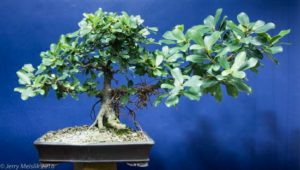 Wild and untrimmed growth to thicken this branch on a Ficus natalensis/thonningii complex bonsai