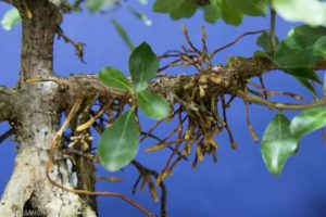 Aerial roots are kept on this branch as they speed branch thickening