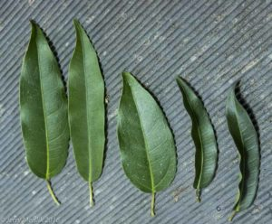 Ficus leaves removed from one plant showing the highly variable shape and character of the leaves