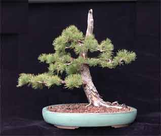 Limber Pine Info