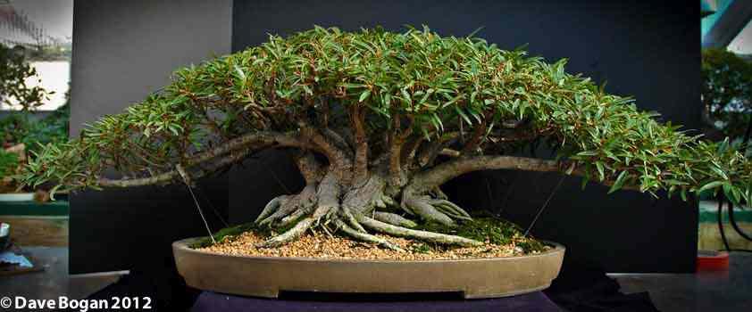 Ficus Salicaria Clump Style