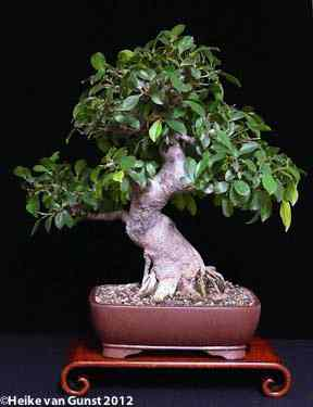 Ficus Technique 60 Tropical Bonsai In Germany