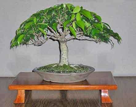 Ficus Techniques 12 Time