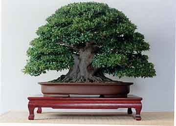 Ficus Microcarpa Min Shuan Lo Taiwan