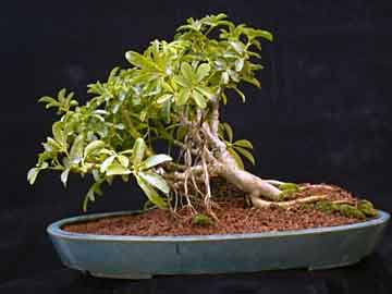 Schefflera The Indestructible Bonsai