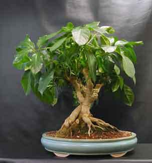 Schefflera The Indestructible Bonsai