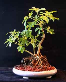 schefflera the indestructible bonsai rh bonsaihunk us Schefflera Umbrella Tree Schefflera Umbrella Tree
